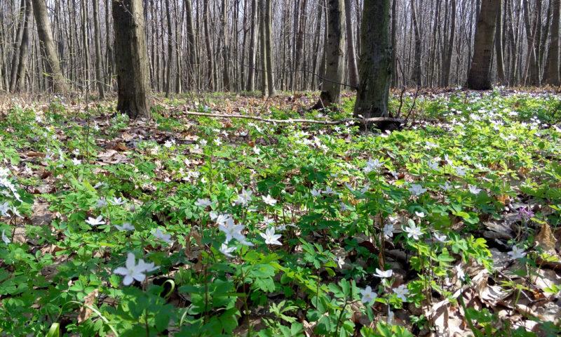 Весенние лесные цветочки